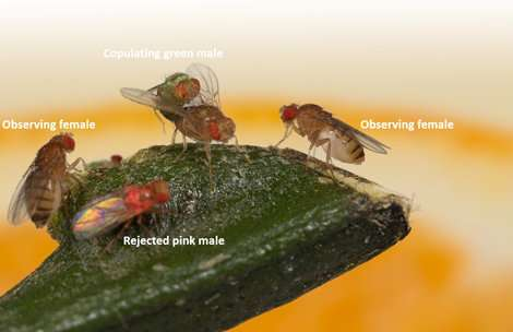 Fruit flies can transmit their sexual preferences culturally