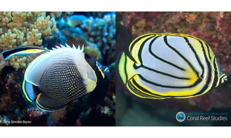 Mystery of color patterns of reef fish solved