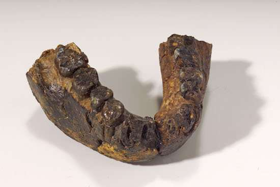 **Tooth enamel analysis shows two early hominin species ate a generalized diet