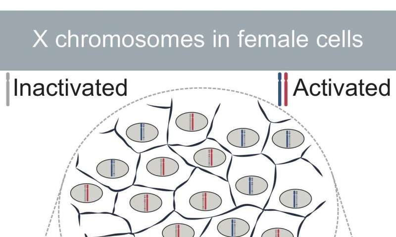 X chromosome: how genetics becomes egalitarian