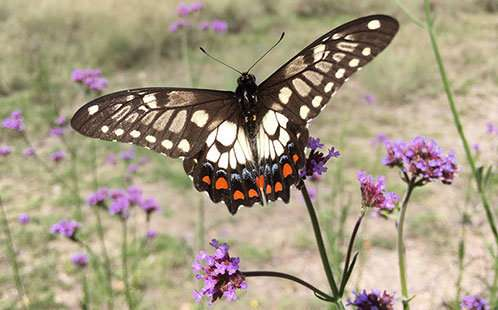 5 surprising Aussie pollinators that make your dinner possible