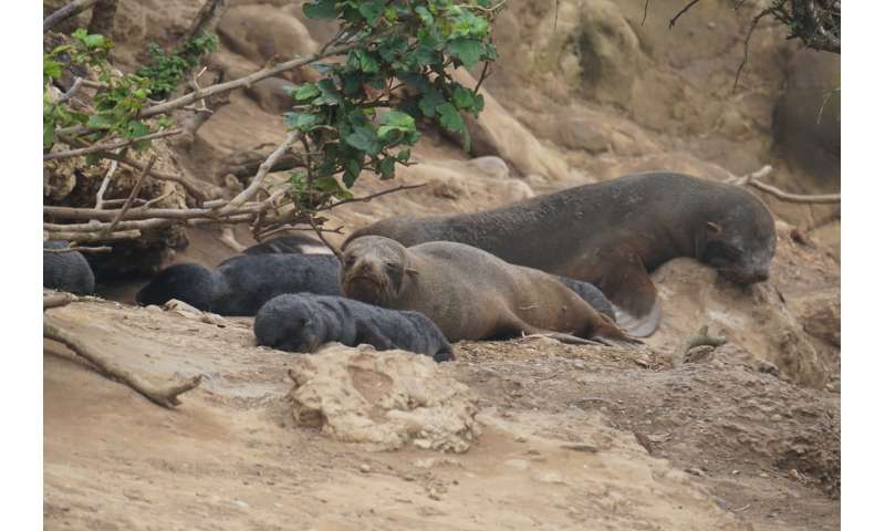 Warming oceans lead to more fur seal deaths from hookworm infection