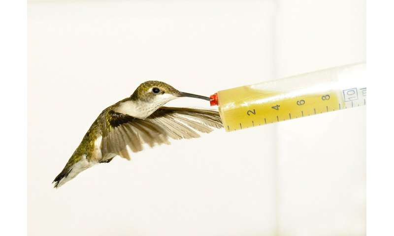 When it comes to fuel efficiency, size matters for hummingbirds