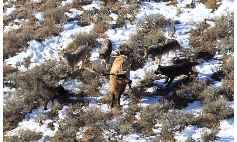 Researchers study how wolf predation shapes elk antler evolution