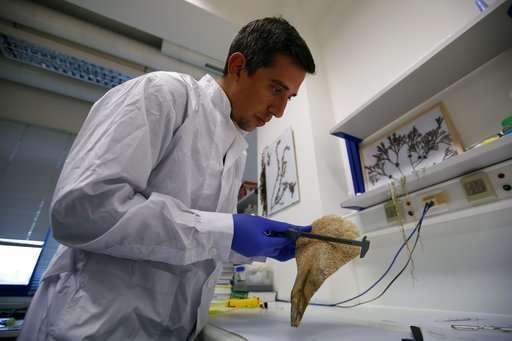 New parasite decimates giant clam species in Mediterranean