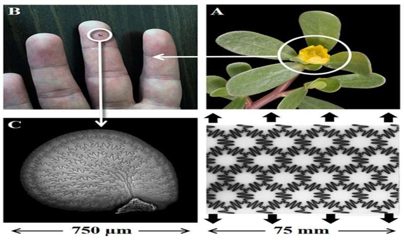 UNH Researchers find seed coats could lead to strong, tough, yet flexible materials