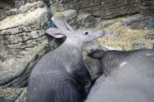 Zoo's aardvark contributes to national animal milk research