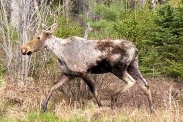 Researchers say winter ticks killing moose at alarming rate