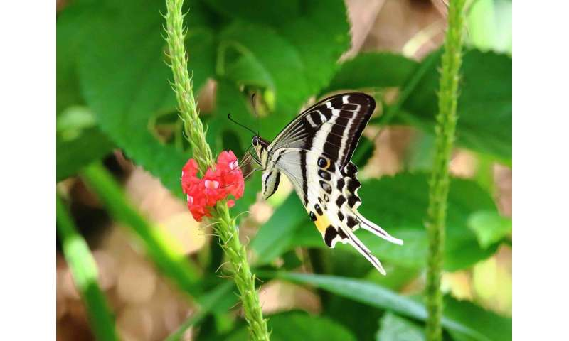 New species of Swallowtail butterfly discovered in Fiji