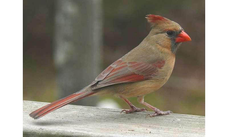 Scientists remind their peers: Female birds sing, too