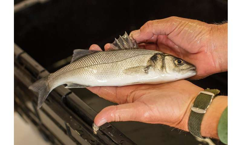Scientists tag bass in bid to explain falling stock numbers