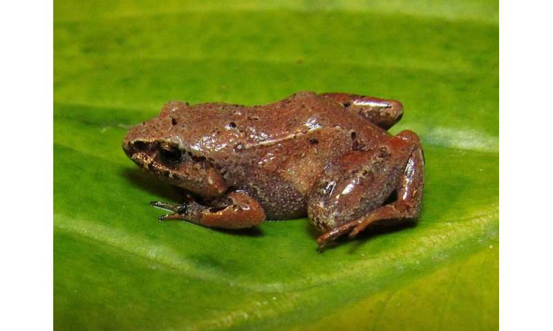 Climate change may drive 10 percent of amphibian species in the Atlantic Rainforest to extinction