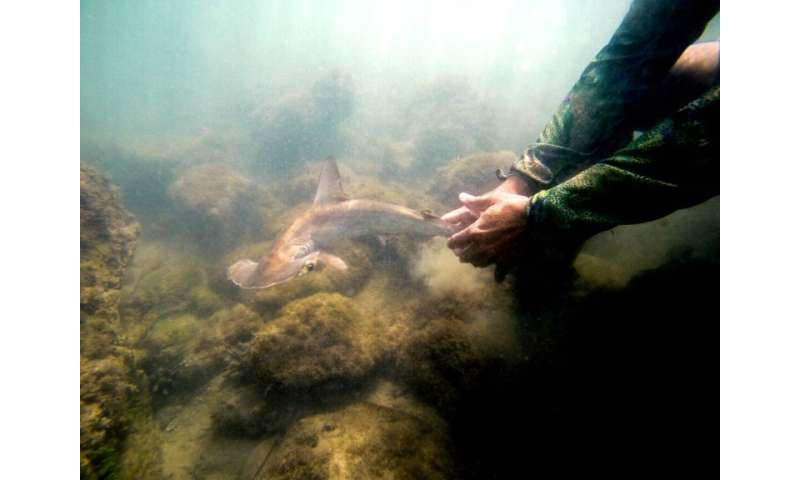 A baby hammerhead shark is released by a member of the Galapagos National Park research team