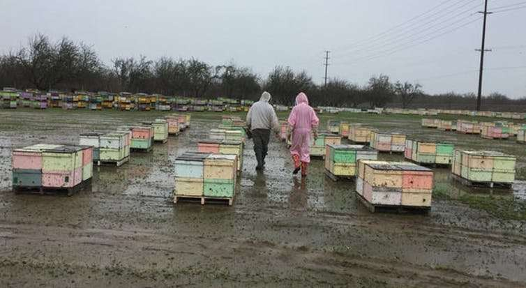 A bee economist explains honey bees' vital role in growing tasty almonds