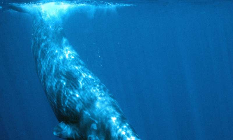 A bigger nose, a bigger bang: Size matters for ecoholocating toothed whales