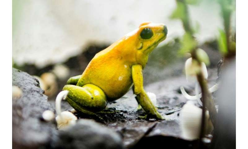 About 41 percent of the world's amphibian species are threatened with extinction
