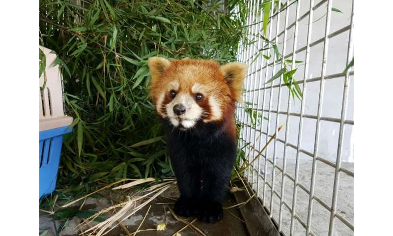 According to an assessment from the IUCN Red List of Threatened Species, the interest in red pandas as pets may have grown partl