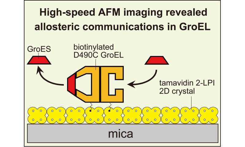 A chaperonin protein, GroEL, has a more complex mechanism than was thought before
