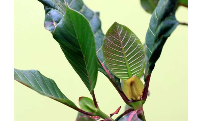 A close up of the cinchona leaf from the home of researcher Roque Rodriguez in Trujillo