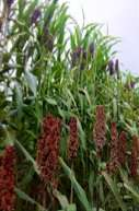 A crucial gene controls stem juiciness in sorghum and beyond