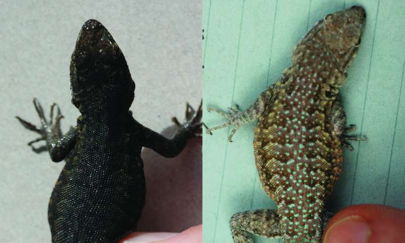 Adaptable lizards illustrate key evolutionary process proposed a century ago