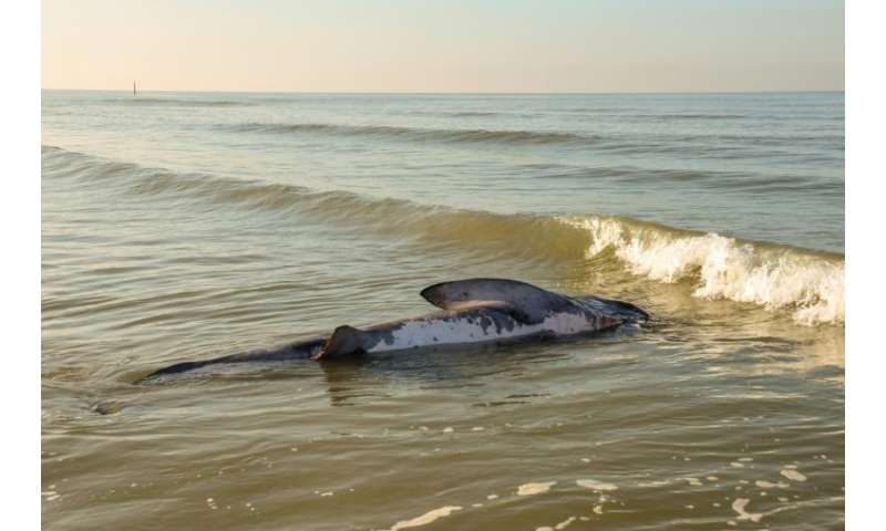 A file photo shows a dead basking shark on a North Sea beach in Belgium. It is the world's second largest fish but crucial detai