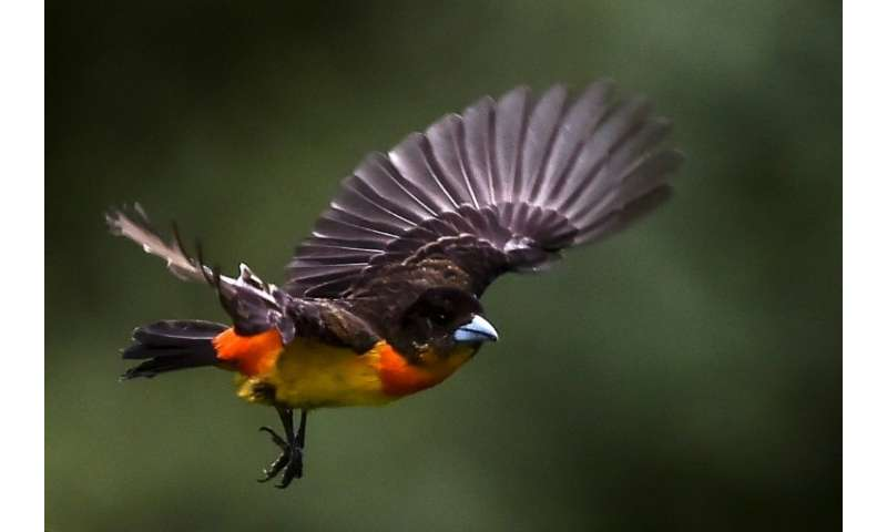 A Flame-rumped tanager (Ramphocelus flammigerus) in Colombia's Cloud Forest of San Antonio, in the rural area of Cali