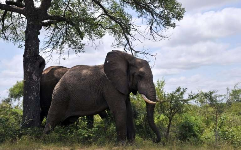 African elephants, the largest land animals on Earth, sometimes live into their seventies. They are famously social animals, liv