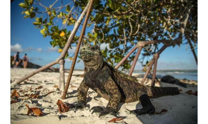 A Galapagos marine iguana, pictured in January 2018, sunbathes next to tourists at Tortuga Bay beach on Santa Cruz Island