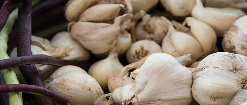 Aged garlic extract may help obese adults combat inflammation, study suggests
