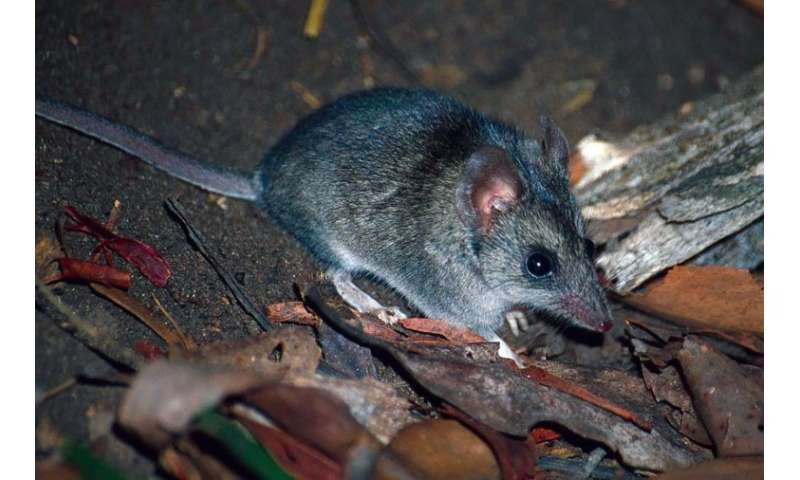 A kangaroo island dunnart at an undisclosed location in the Australian bush. The main causes of species decline that have been i