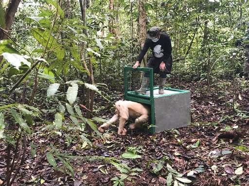 Alba the albino orangutan returned to jungle in Indonesia