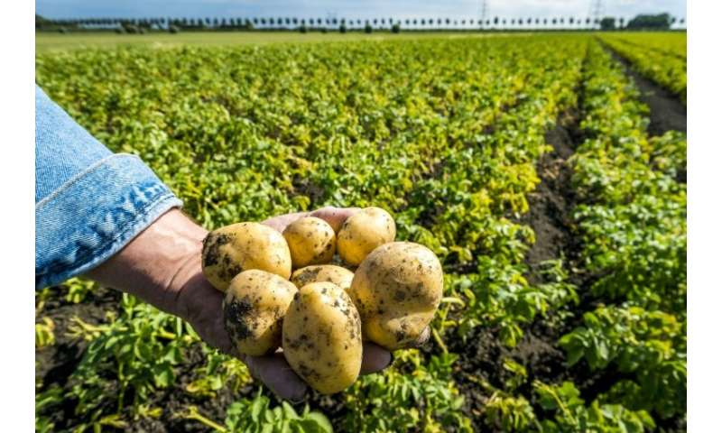 All five top European Union potato producers—Belgium, Germany, the Netherlands, France and the United Kingdom—have been hit by t