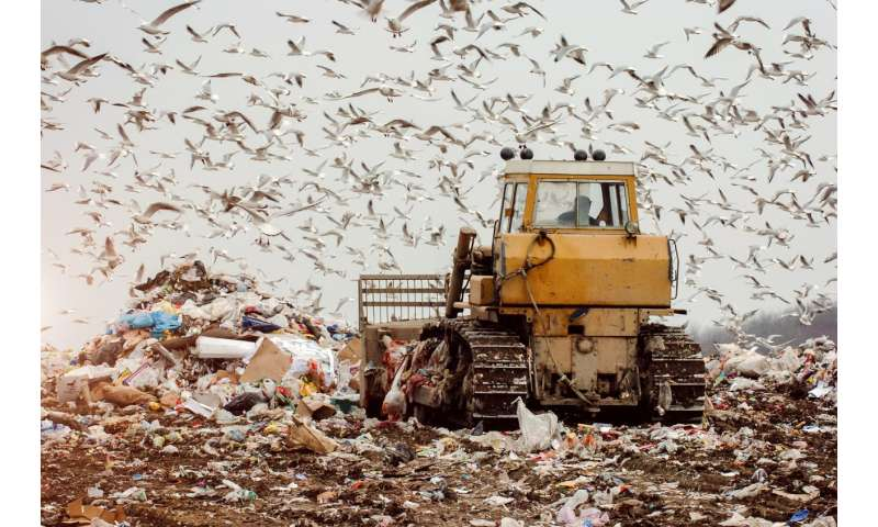 All-you-can-eat landfill buffet spells trouble for birds