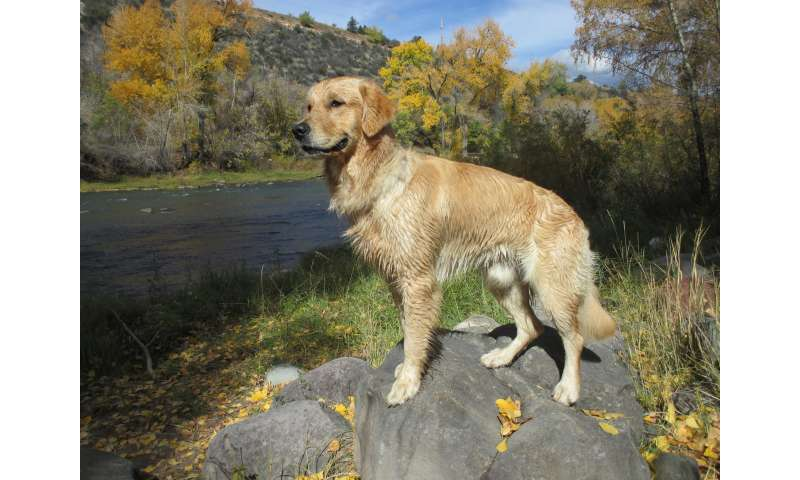 A look at participants in Morris Animal Foundation golden retriever lifetime study