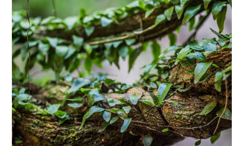 Amazonian psychedelic may ease severe depression, new study