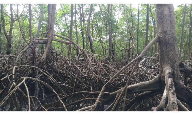 Amazon mangrove forest stores twice as much carbon per acre as region's famous rainforest