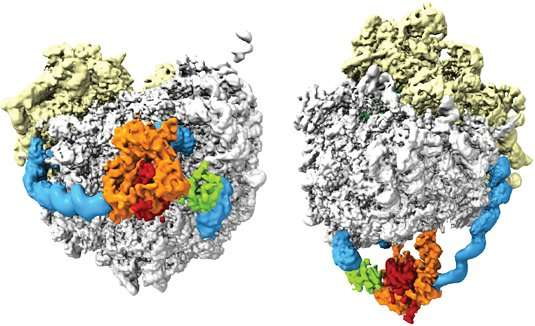 A molecular hammock for cotranslational modification