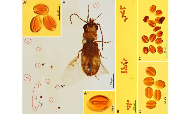 Ancient beetle discovery gives clue to gymnosperm pollination