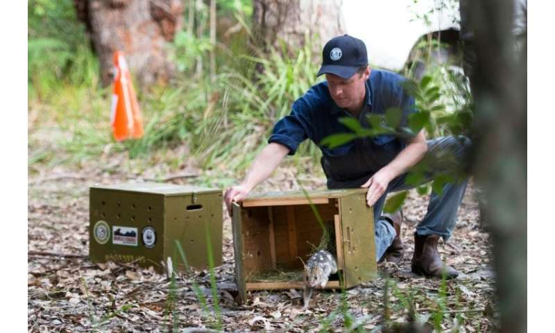 An eastern quoll takes its first steps into the wild