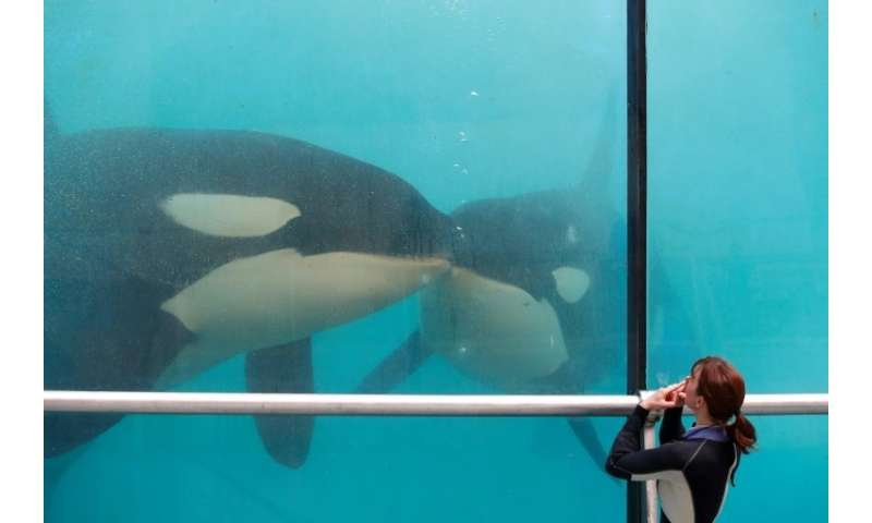 An employee trains orcas in Marineland at Antibes on the French Riviera