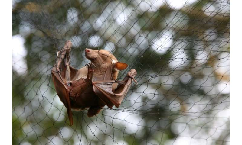A new Ebola virus has been found in bats in Sierra Leone, like this one trapped to be examined for research in Gabon in June 201