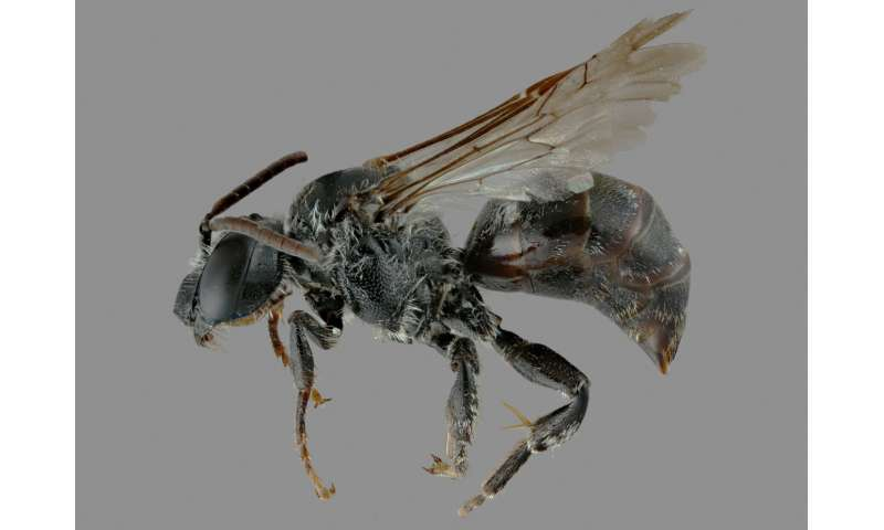 A new hope: One of North America's rarest bees has its known range greatly expanded