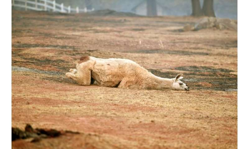 An exhausted llama lays in a partially burned field in Paradise, California