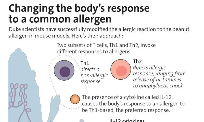 Animal study shows how to retrain the immune system to ease food allergies