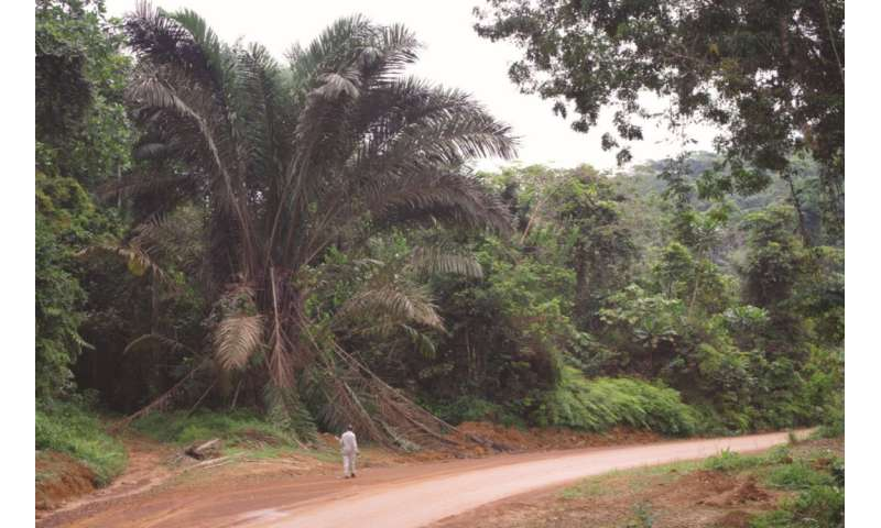 An overlooked giant: Useful and abundant, African 'Zam' palm newly described for science