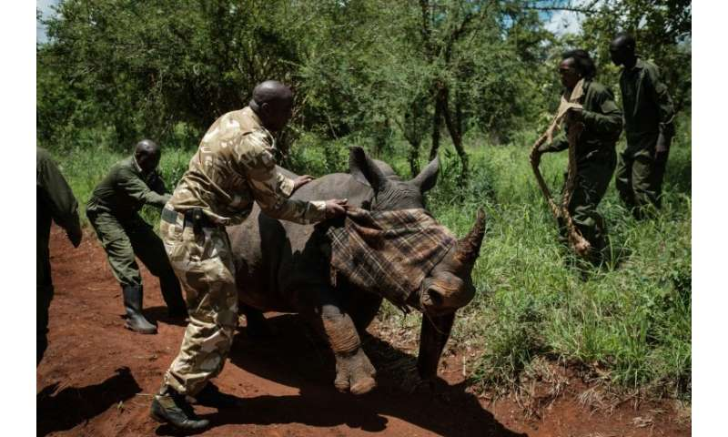 A ranger of Kenya Wildlife Services tries to calm down a female Southern white rhino after she was shot by a tranquilizer from a
