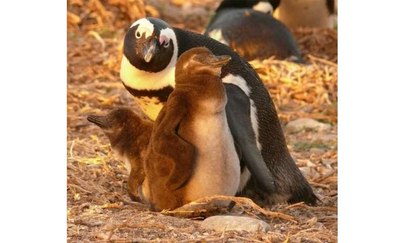 Are seismic surveys driving penguins from their feeding grounds?