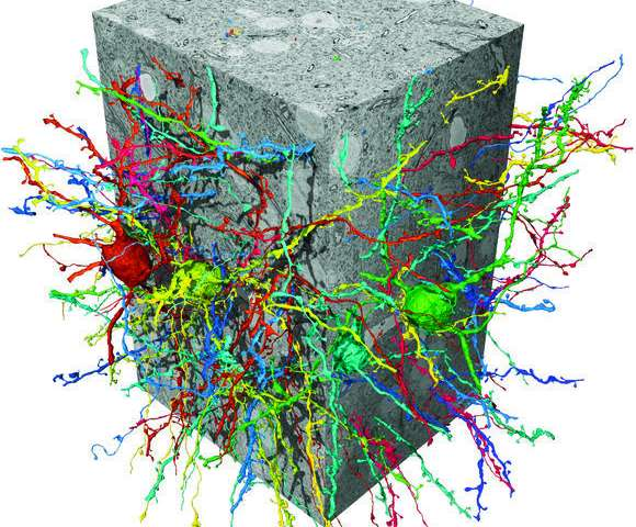 Artificial neural networks now able to help reveal a brain's structure