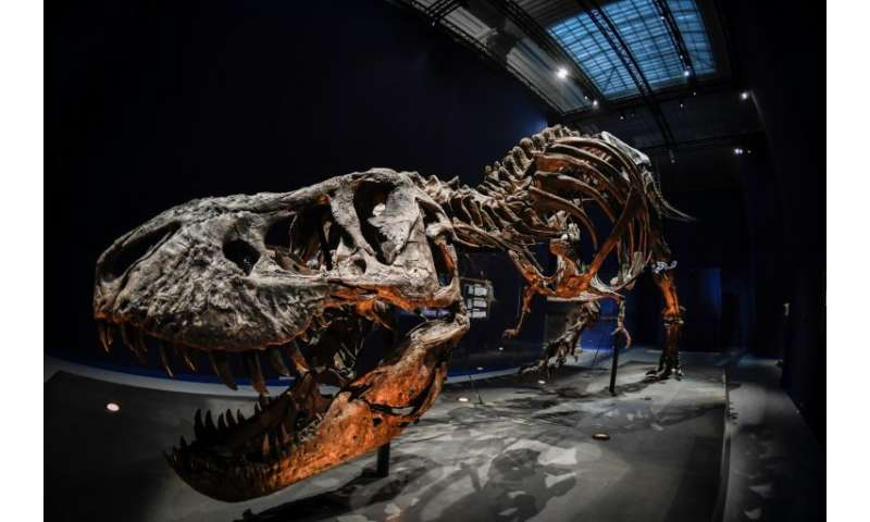 A skeleton of a Tyrannosaurus Rex dinosaur will be displayed at the French National Museum of Natural History in Paris